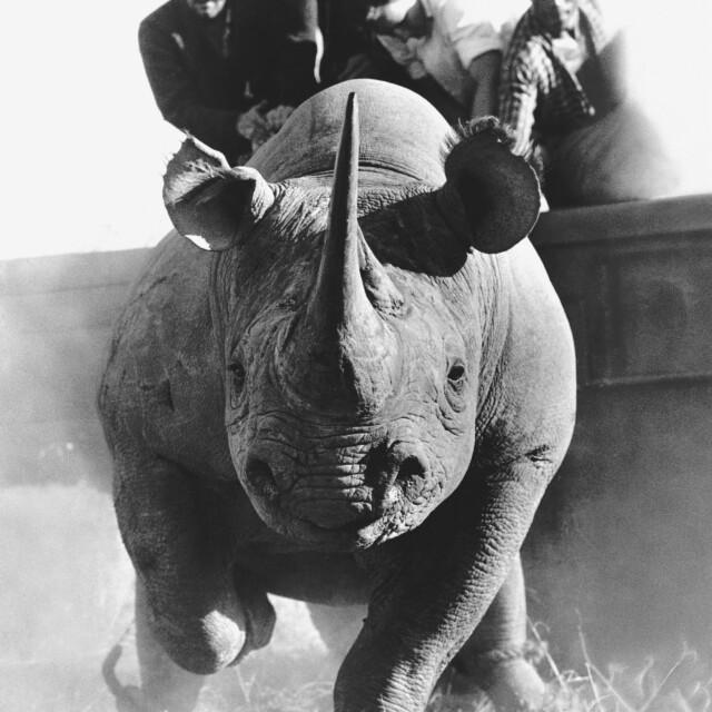 Raging Rhino by Peter Beard