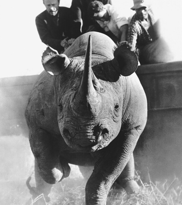 Raging Rhino by Peter Beard